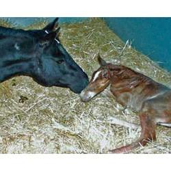 Neonatal isoerythrolysis: When mare's milk can kill