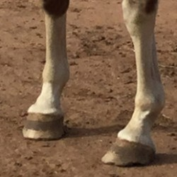 Heel-toe imbalance identified in toed-in horses
