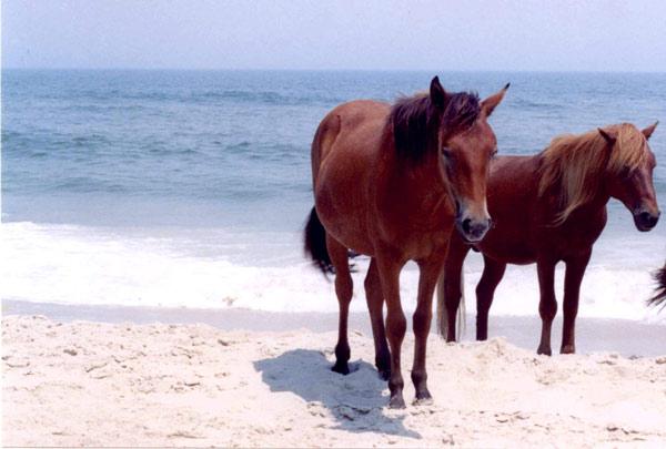 Assateague Island ponies on the beach.