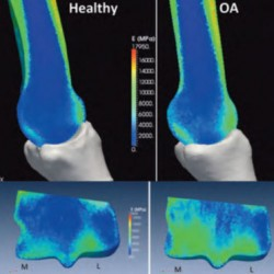 When joints hurt horses: getting to the source of OA