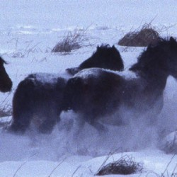 Genes link wild horse herd in western Canada to Siberian breed