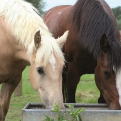 Guidelines produced on keeping horses hydrated during travel