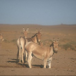 Water competition in the Gobi: Wild equids find their niches