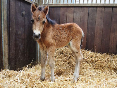 Three-day-old foal saved from a ditch gets a new mum