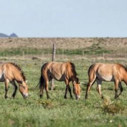 The soap-opera lives of wild Przewalski's horses
