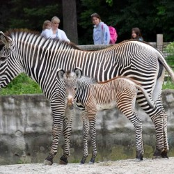 Chicago zoo welcomes Grevy's zebra foal