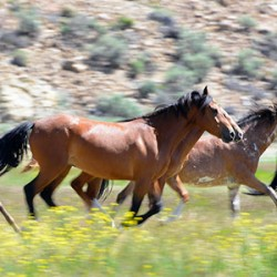 Call of the wild horses in Idaho: Preserving an American icon