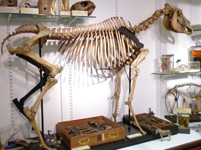 Incredibly rare quagga skeleton stands on four legs once again