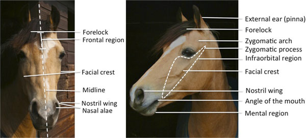 The facial landmarks of the horse. Photo: Fig 2. The facial landmarks of the horse. PLOS ONE/ doi:10.1371/journal.pone.0131738.g002