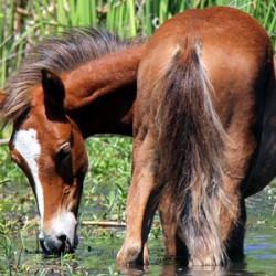 Lawmakers wade into debate over Arizona's iconic river horses
