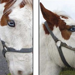 The eyes have it: Horses shown to have surprising visual ability
