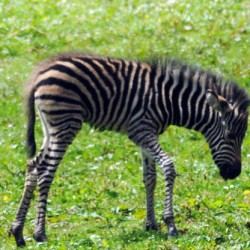 Sad loss of young zebra foal at British zoo