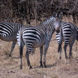 Do your bit: Help tag rare zebras and other African critters