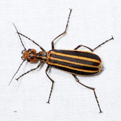Blister-beetle poisoning suspected in deaths of five North Carolina horses