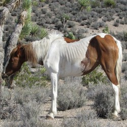 Feds euthanize 28 poorly mustangs after emergency muster