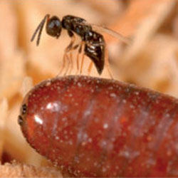 Parasitic wasp could be future of fly control on horse farms