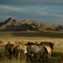 Study reveals genetic ties between Przewalski's and domesticated horses