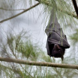 Horses most likely to catch Hendra virus from bat urine, study suggests
