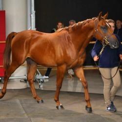 Arabian racehorse sale nets €2.5m; top lot fetches €210K