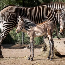Zoo visitors watch birth of rare Grevy's zebra foal