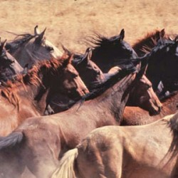 More than 1700 wild horses sent to slaughter, inquiry concludes