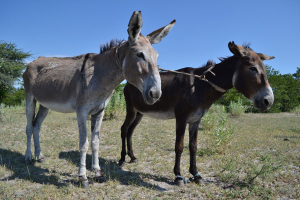 These donkeys were found by a SPANA representative with their feet hobbled and tied together by the neck.