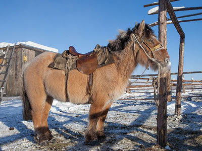 Horses in eastern Siberia adapted to icy cold in only 100 generations – study