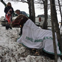 Chainsaws used on ice to free horses from frozen pond