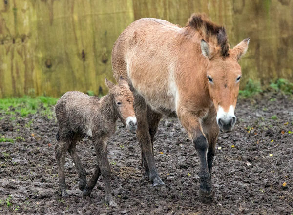 Port Lympne Reserve's new Przewalski's horse filly foal.