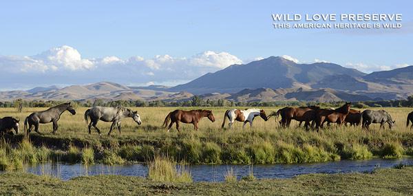 Idaho's Challis horses - back in the wild.
