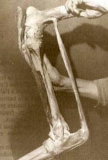 From Jean Marie Denoix's work, Biomechanique et travail physique du cheval de sport.