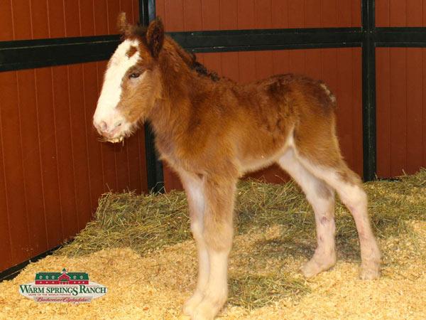 Newborn clydesdale foal Mac.