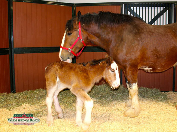 Newborn Clydesdale foal Mac may one day join his famous relatives in a Budweiser Clydesdale team.